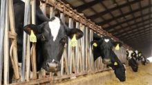 Burps to burgers: food companies wrangle climate-warming cattle emissions