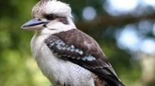Perth man fined for ripping head off Kevin the kookaburra
