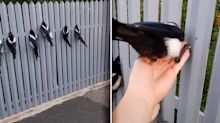 'It's suss': Shocking theory behind viral TikTok of magpie rescue
