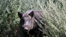 'An ecological train wreck': Prof says Ontario needs to do more than just track wild pigs