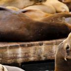 Sea Lion Attacks Shut Popular Swimming Spot In San Francisco