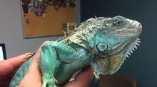 Customer threw iguana at restaurant manager, police say