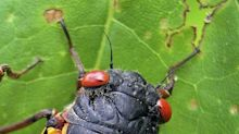 How will this year's army of Brood X cicadas affect NC? Here are tips and ... recipes