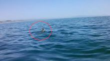 Deer lost at sea circled by great white shark