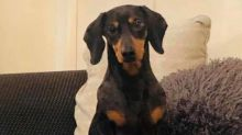Daring daschund reunited with owner after hopping on a bus and making 18-mile journey to seaside town alone