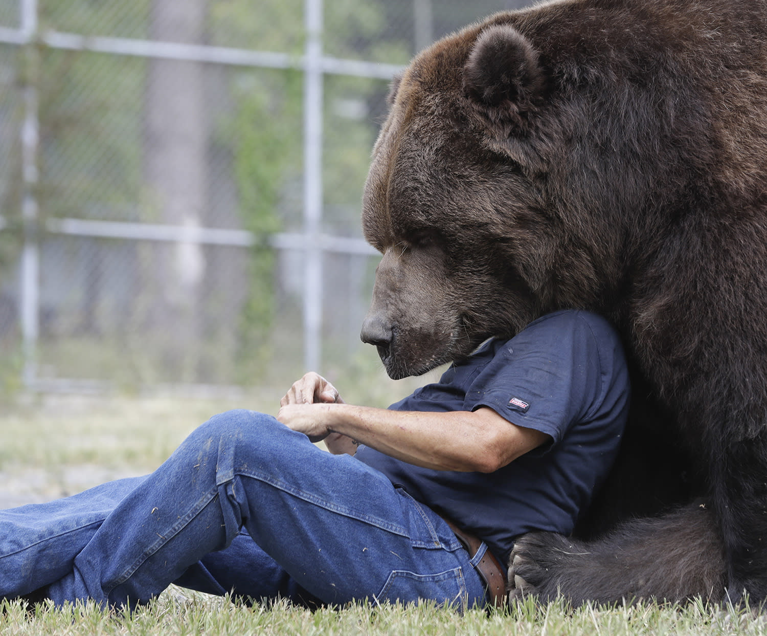 <p>Jim Kowalczik plays with Jimbo, a 1500-pound Kodiak bear, at the Orphaned Wildlife Center in Otisville, N.Y., Sept. 7, 2016. (AP Photo/Mike Groll) </p>