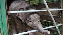 Six pygmy elephants found dead on Malaysian Borneo