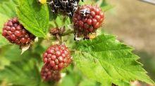 Nel veronese ricompare la cimice asiatia, danni alle ciliegie
