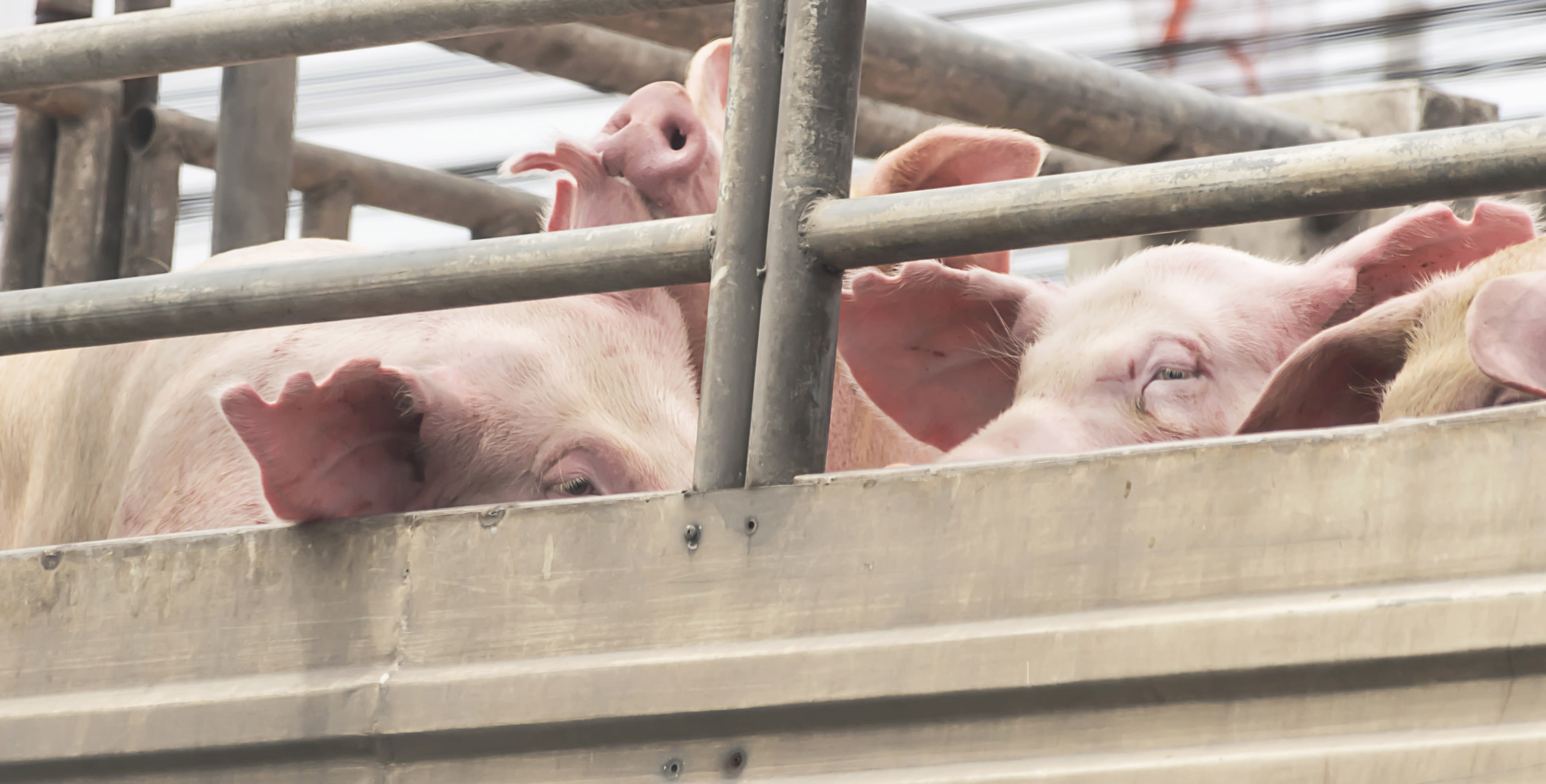 'Horror movie': investigation underway after damning piggery footage leaked