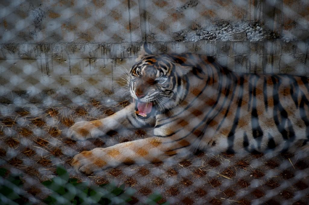 """A caged tiger at the Wat Pha Luang Ta Bua """"tiger temple"""" in Kanchanaburi province, western Thailand, on May 30, 2016 (AFP Photo/Christophe Archambault)"""