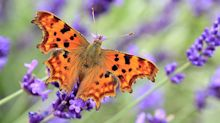 Big Butterfly Count 2020: how to get involved