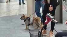 México: una pareja llevó a un tigre de Bengala a pasear a un shopping y abrió un debate sobre la legalidad