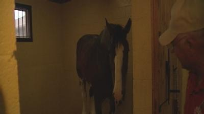 Web Extra: Meet The Clydesdales
