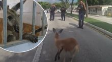 'Does he eat carrots?': Stray kangaroo 'arrested' in Florida