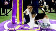 FOTOS: miles de perros compiten por el 'Best in Show' en New York
