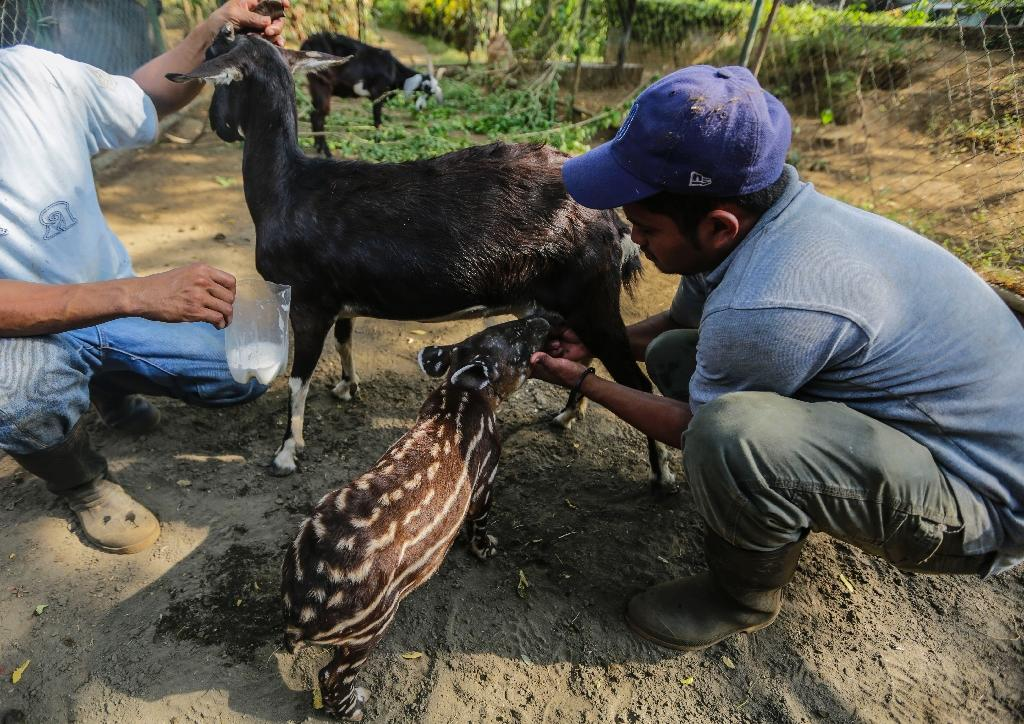 A tapir calf rejected and abandoned by its mother is fed from a goat, at the National Zoo in Managua, Nicaragua April 21, 2016