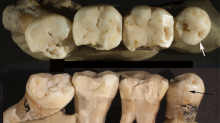 Prehistoric dentists: Neanderthals used toothpicks 130,000 years ago