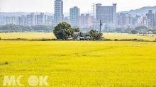台北也有伯朗大道!壯闊稻海必拍新熱點