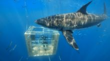 Diving with Great White Sharks Takes LP Legacy® Sub-Floor Testing to the Next Level