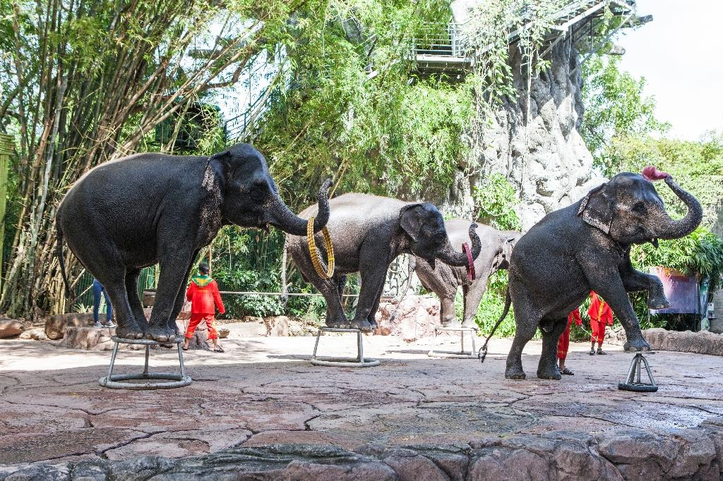 A multi-million dollar tourist elephant industry has flourished across Asia in recent decades, where thousands of the giant beasts are kept in chains, forced to give rides to tourists and perform in circus shows (AFP Photo/Handout)