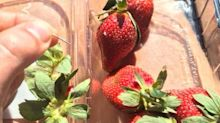 Girl, 12, caught out in school strawberry needle prank