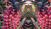 The First Photos of the Pink Pineapple Are Here