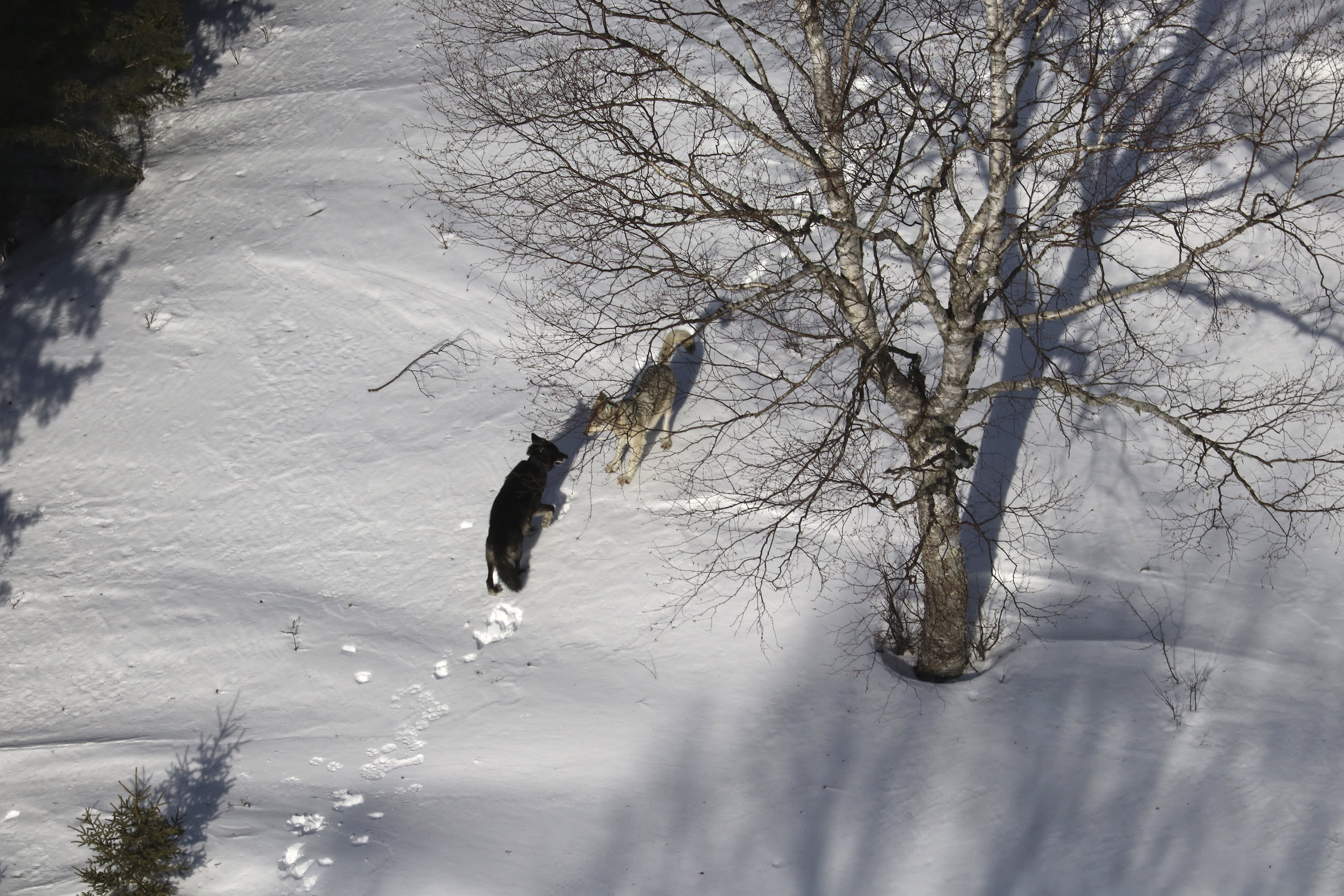"In this 2020 photo provided by Michigan Technological University, a gray female wolf, right, courts a black male wolf, left, with a ""play bow"" invitation to engage during the 62nd year of the Michigan Technological University Winter Study on Isle Royale National Park in Mich. Gray wolves that were taken to Michigan's Isle Royale National Park to rebuild its nearly extinct population are forming social groups and staking out territory — promising signs despite heavy losses from natural causes and deadly fights, scientists said Monday, Sept. 14. (Rolf Peterson/Michigan Technological University via AP)"