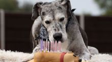 British Great Dane is the oldest in the world - thanks to chicken dinners and lots of love