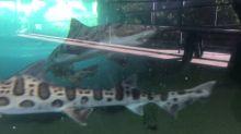 High schooler 'regrets' accepting dare to jump into shark tank at California aquarium