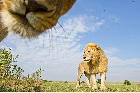 <p>Before you ask, a photographer did not risk their life to get up close and personal with this pair of jungle cats, the photo was taken on a remote camera on wheels.<br /> </p>  <p></p>