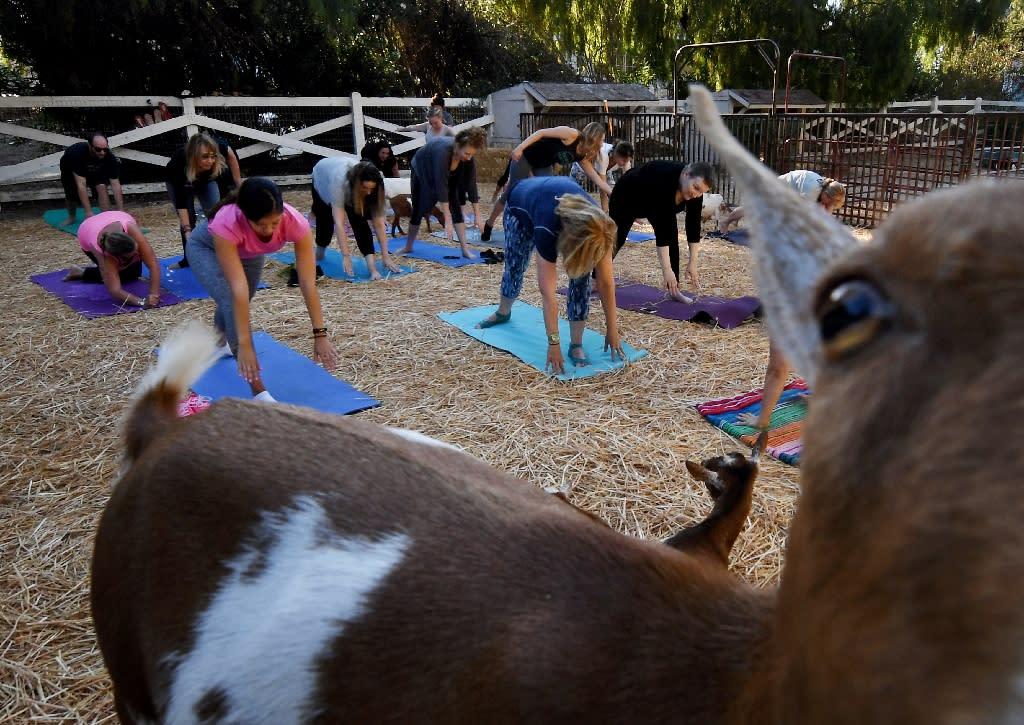The workouts involve Nigerian Dwarf goats -- miniature goats of West African origin (AFP Photo/Mark RALSTON)