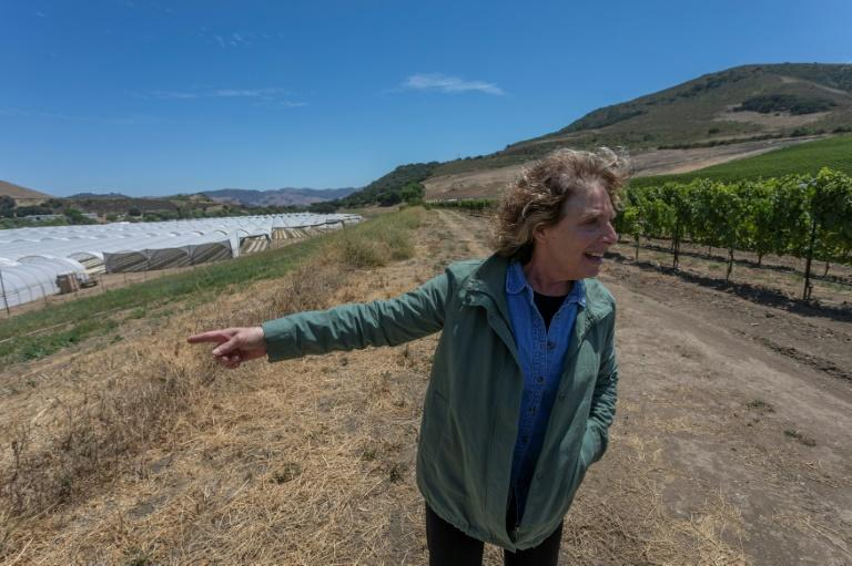 Winemaker Kathy Joseph gestures toward a cannabis-growing operation that appeared in March as she stands in her longtime Fiddlestix Vineyard in the Santa Ynez Valley northwest of Santa Barbara, California (AFP Photo/DAVID MCNEW)