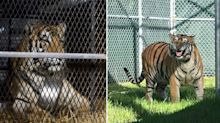 'Happy and content': Tiger found in abandoned house given new home