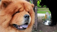 Quebec man ordered to foot vet bill after dog impregnates neighbour's chow chow