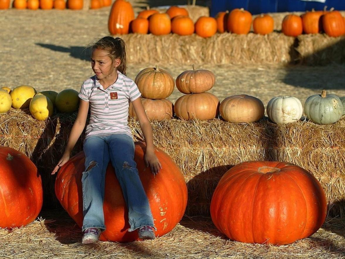 These big pumpkins at a patch near Las Vegas don't come close to breaking the U.S. and world records, but it could be educational to ask the kiddos to figure the circumference of the gourds.
