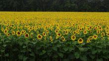 La bella granja de girasoles donde han prohibido tomar fotos por culpa de la fiebre de Instagram