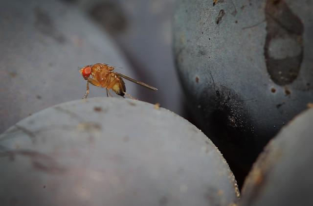 Researchers figure out trick to a fruit fly's acrobatic flight