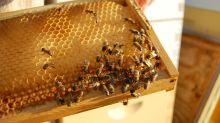 Las abejas reinas viene de larvas que desafían a la gravedad