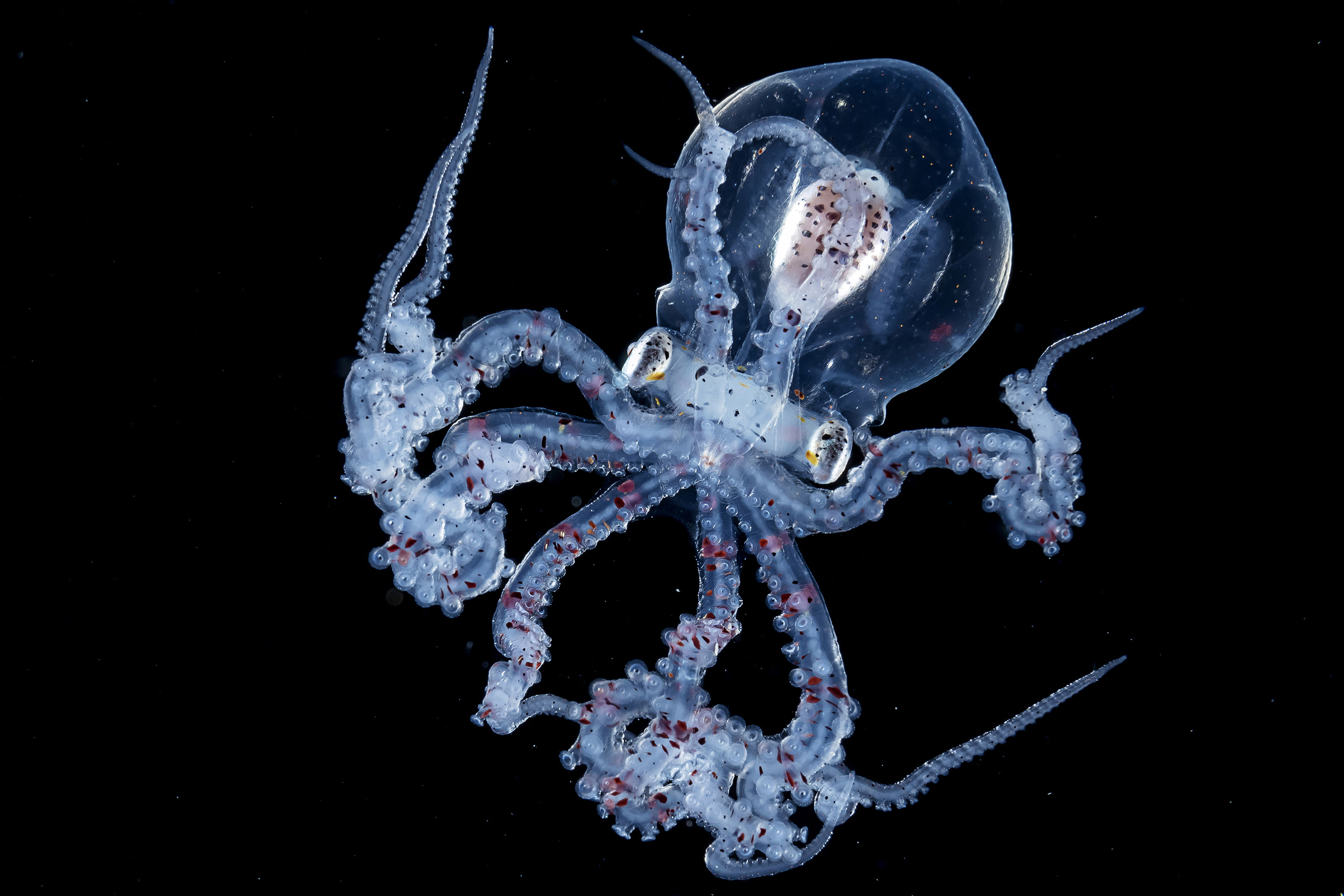 <p>Wunderpus larva. (Photo: Ace Wu/Caters News) </p>