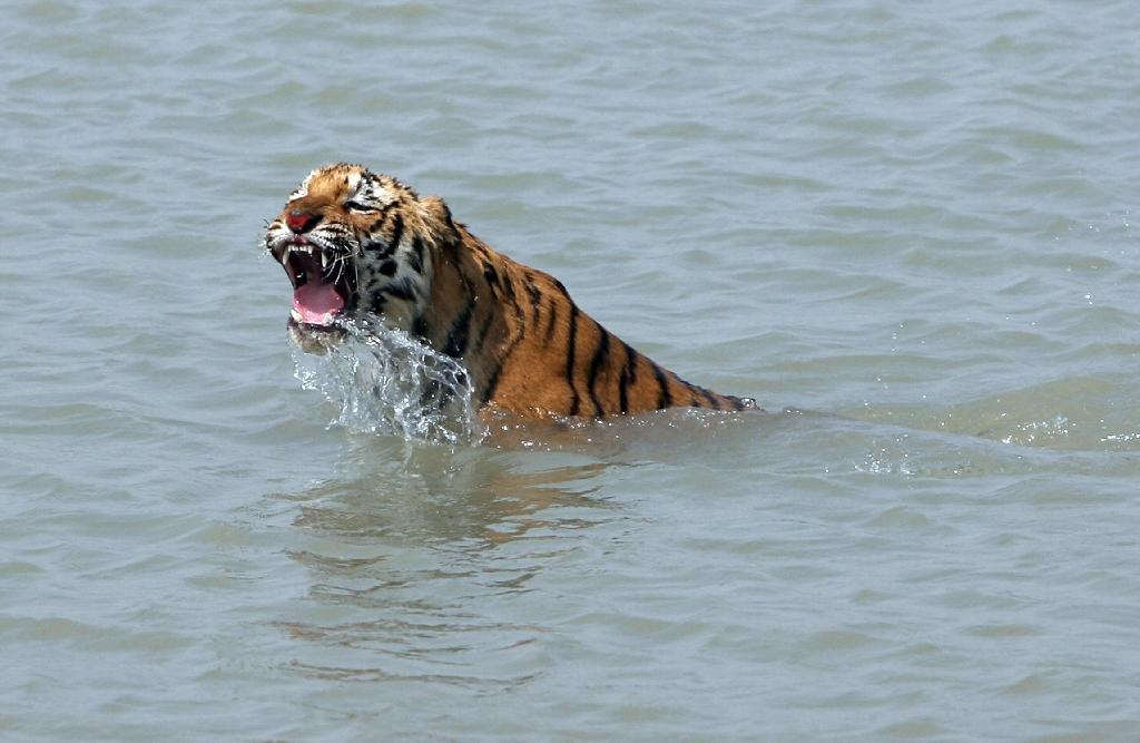 A rescued tigress swims in the Sundarikati river after being released by forestry officials at Sunderbans in February 2008 (AFP Photo/Deshakalyan Chowdhury)