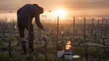 Gel dévastateur dans le vignoble français: le réchauffement suspect numéro 1