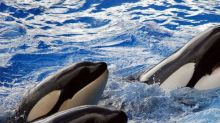 SeaWorld Entertainment Inc CEO Resigns as Attendance Continues to Fall