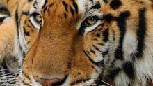 Tiger mauls volunteer at Carole Baskin's Big Cat Rescue