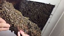 'Monster' hive of more than 50,000 bees found in house ceiling