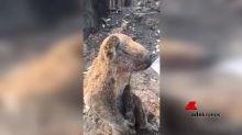 Commovente video del koala salvato dalle fiamme: beve dal bicchiere
