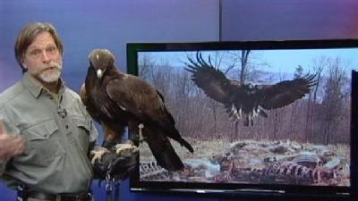 WILD MOMENTS: Golden Eagle Migration A Mystery