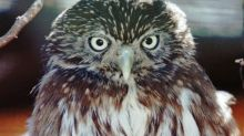 Arizona's tiny desert owl has new chance for protection