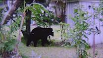 Bear spotted in Spring Hill backyard