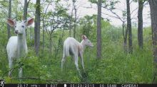 Dozens of rare white deer will be available for public viewing