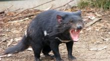 Devil vs. Superbug: Bacteria Succumb to Tasmanian Devil Milk